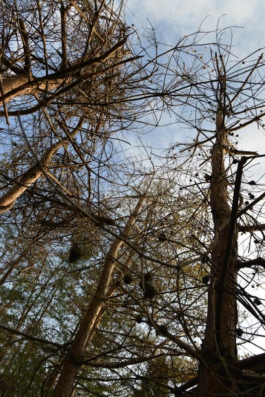 冬の木と松枯れ-4