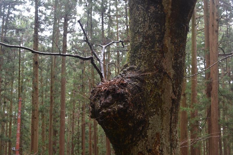 冬の木と松枯れ-1