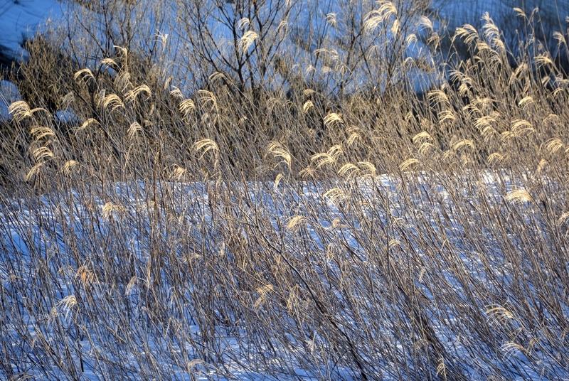 雪と枯れすすき-1