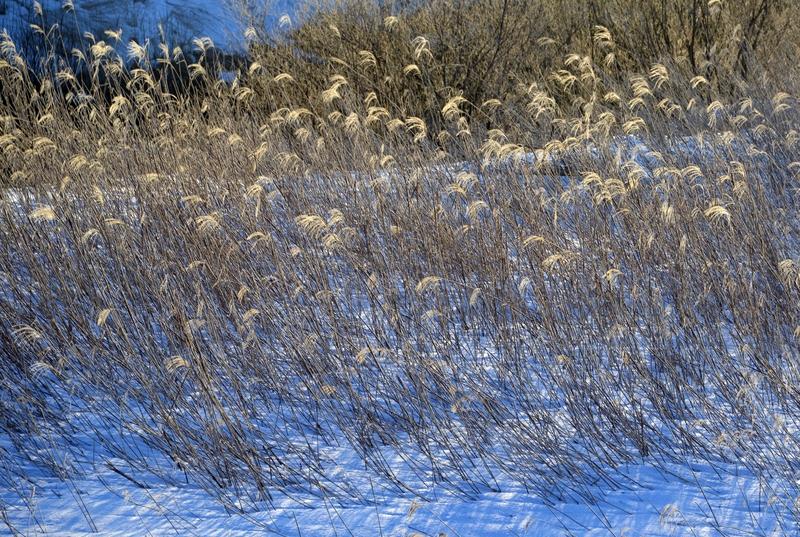 雪と枯れすすき-2