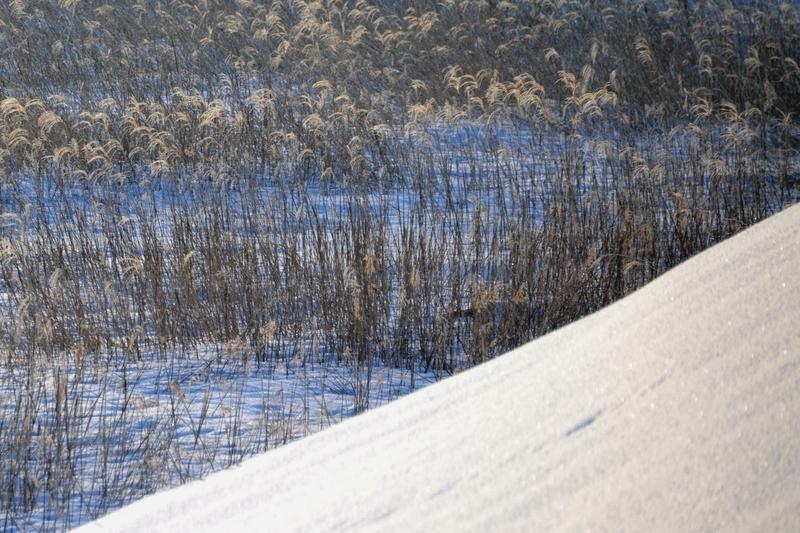 雪と枯れすすき-3