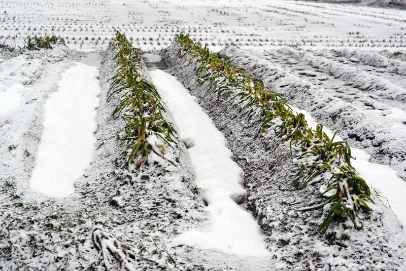 朝の雪 畑-2