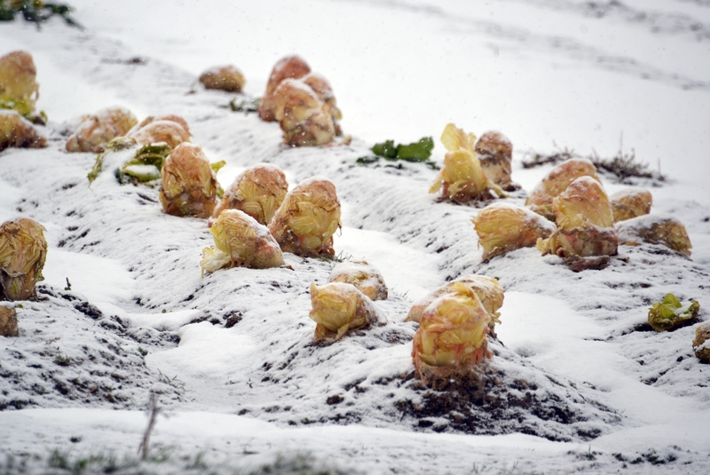 朝の雪 畑-3