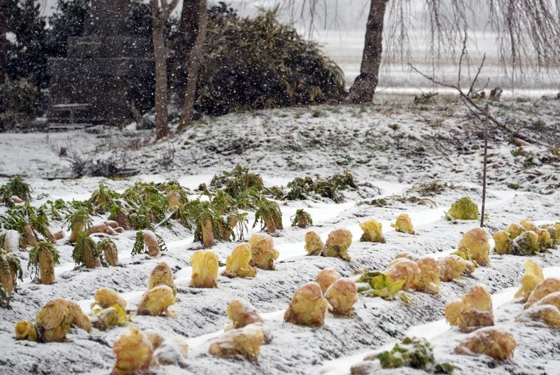朝の雪 畑-4