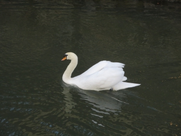 倉敷川に白鳥