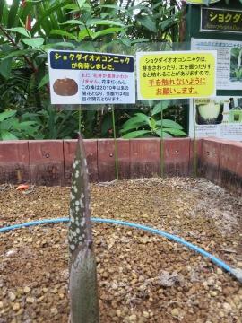 ショクダイオオコンニャクの芽!