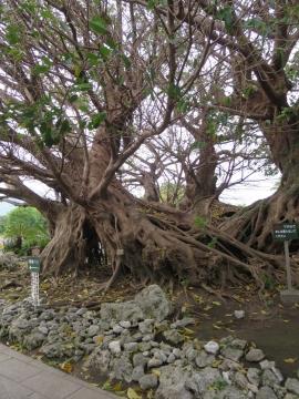フラワーパークのシンボルツリー、アコウ(クワ科イチジク属)