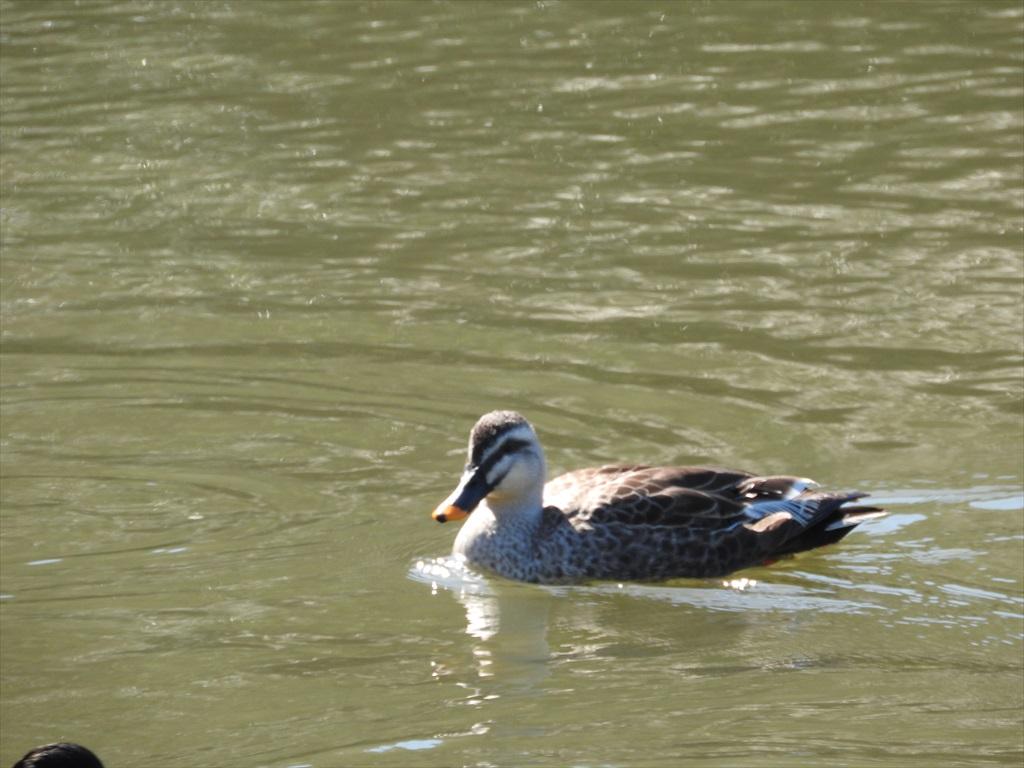 大池にいた野鳥_2