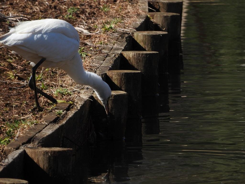 大池にいた野鳥_5