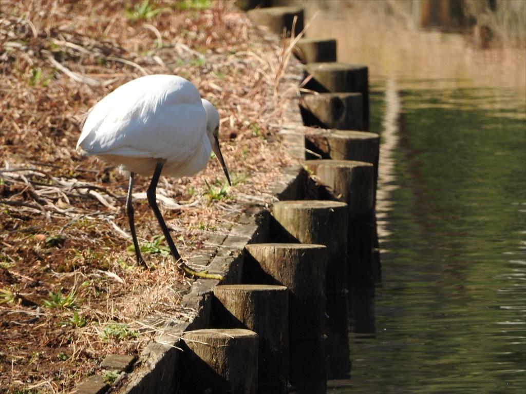 大池にいた野鳥_6