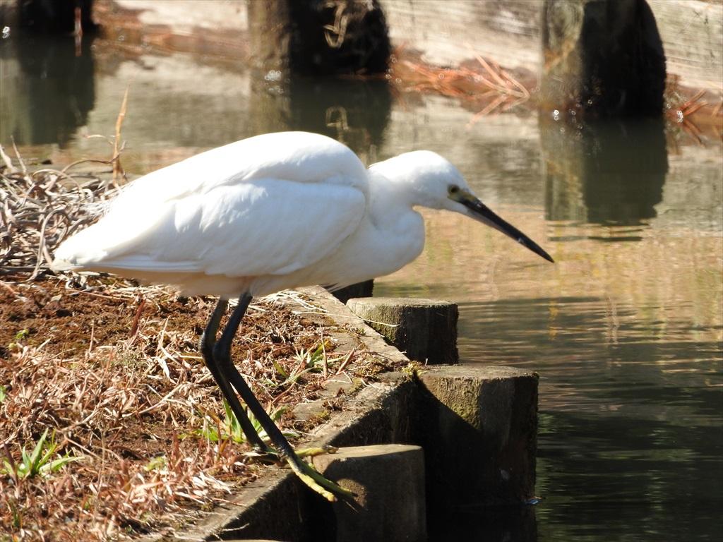 大池にいた野鳥_7