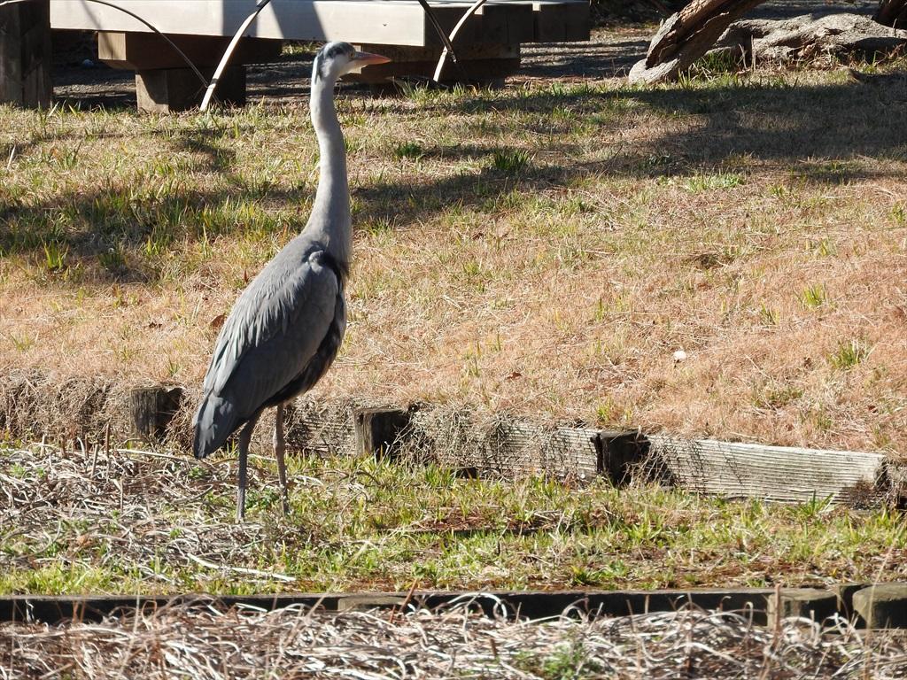 大池にいた野鳥_8