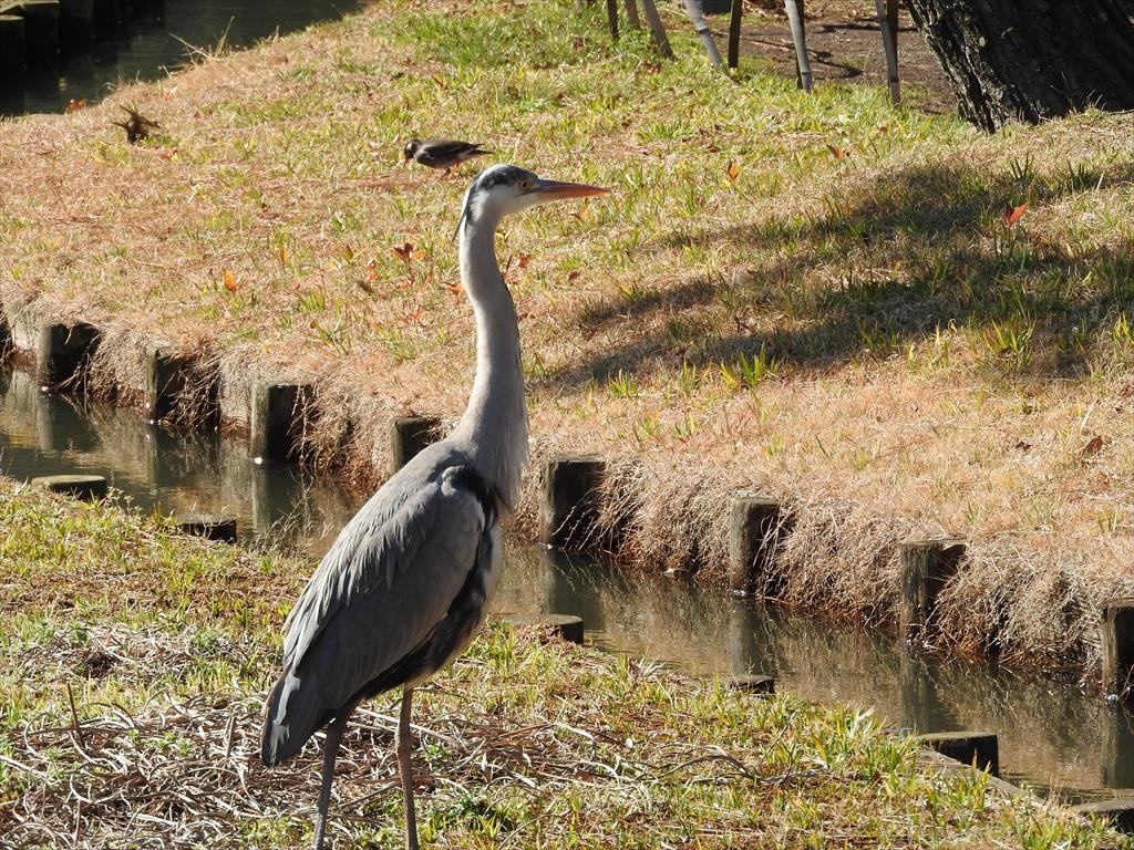 大池にいた野鳥_9