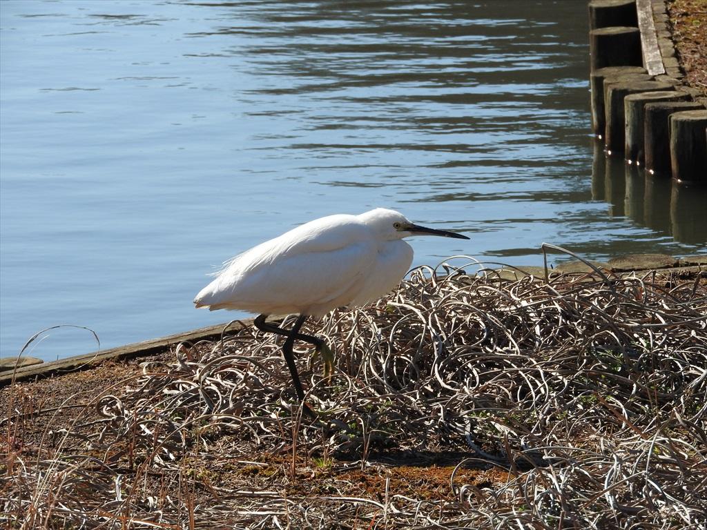大池にいた野鳥_10