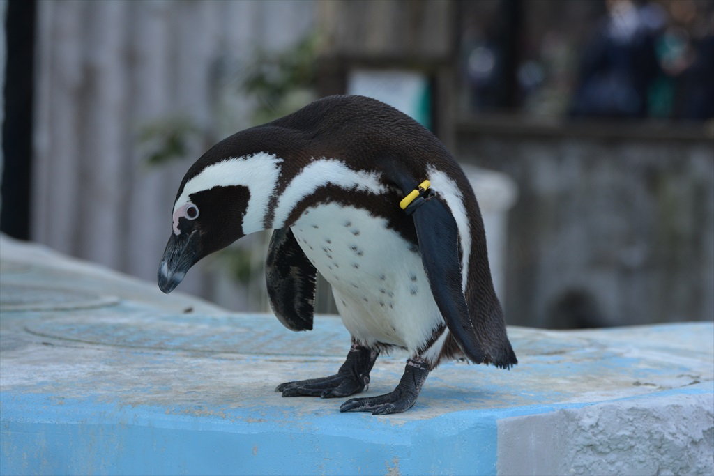 ケープペンギン_1