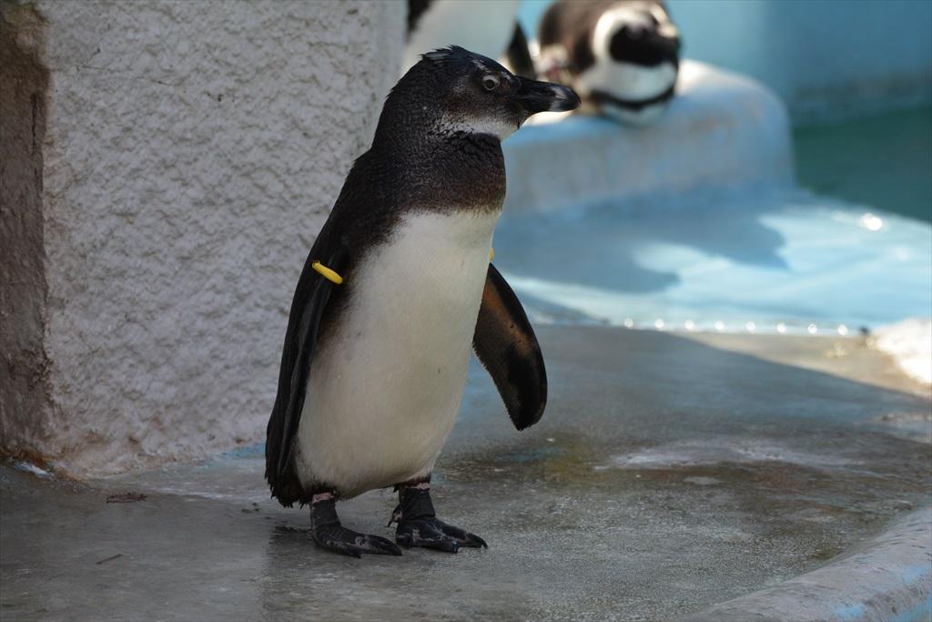 ケープペンギン_3