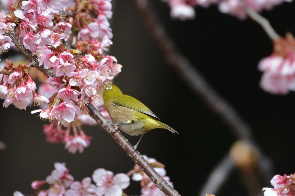 新宿御苑のメジロ_3
