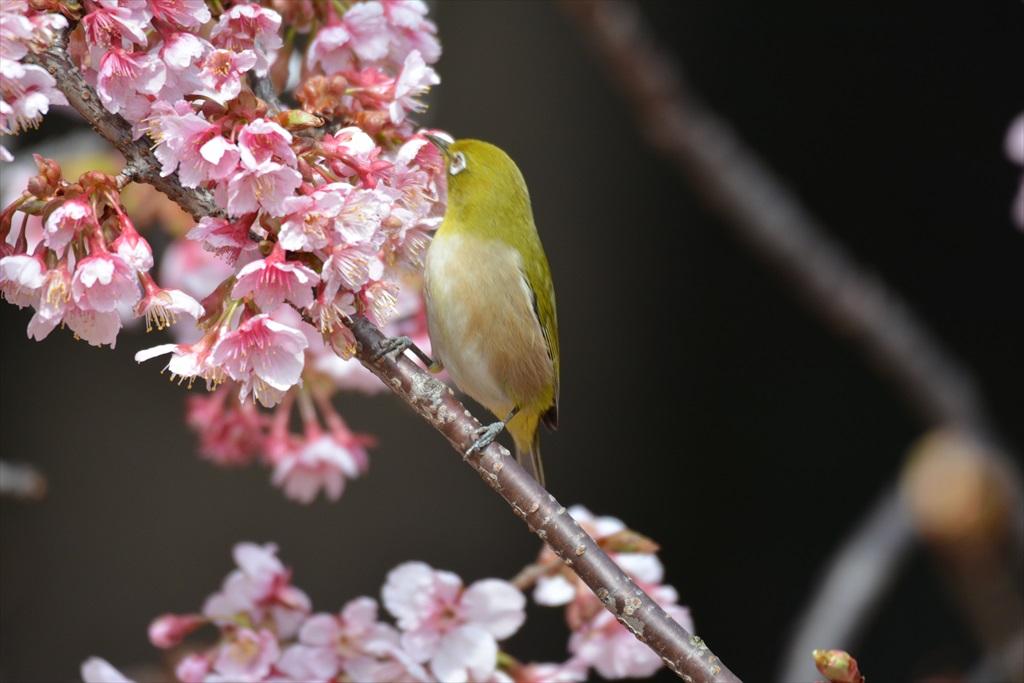 新宿御苑のメジロ_4