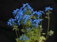 Corydalis_kashmiri_blue2.jpg
