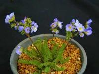 Polemonium_pulcherrimum.jpg