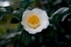 植物-白い椿