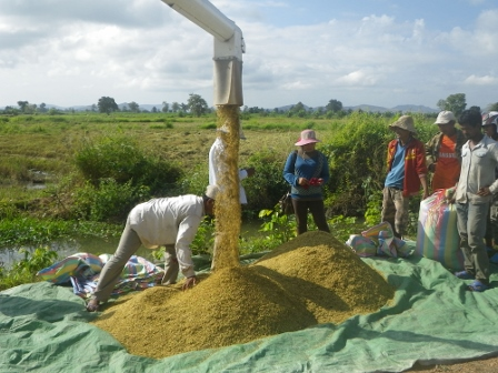 Rice Harvest 2015