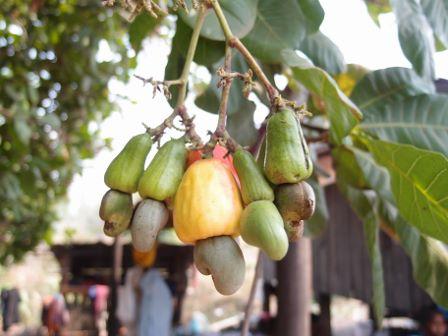 Cashew Nut 2