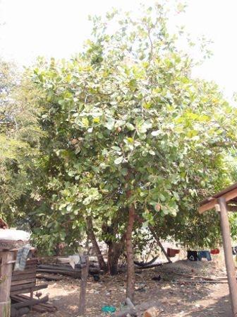 Cashew Nut 1