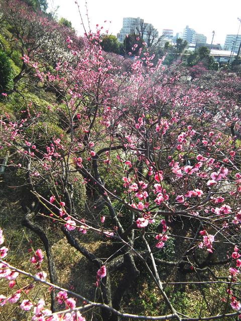 2016 大田区池上梅園の梅(1)