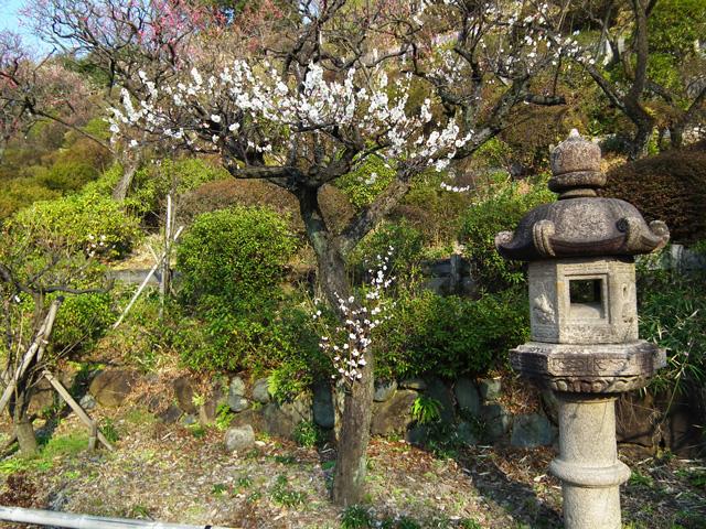 2016 大田区池上梅園の梅(4)