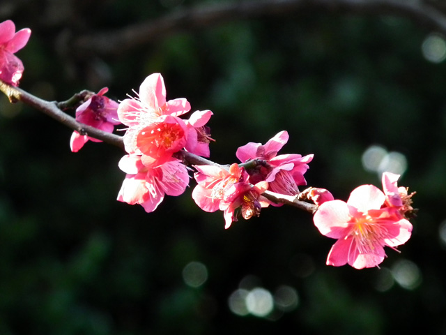 2016 大田区池上梅園の梅(6)