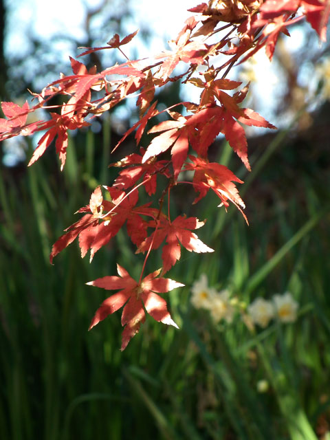 二宮町吾妻山公園の紅葉と水仙