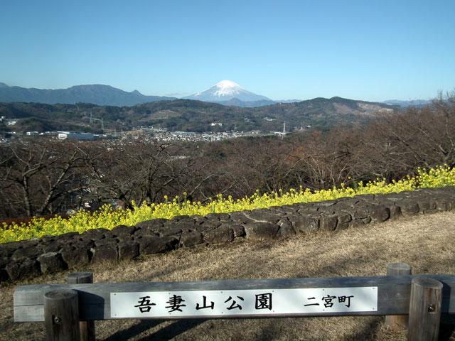 二宮町吾妻山公園の菜の花(1)