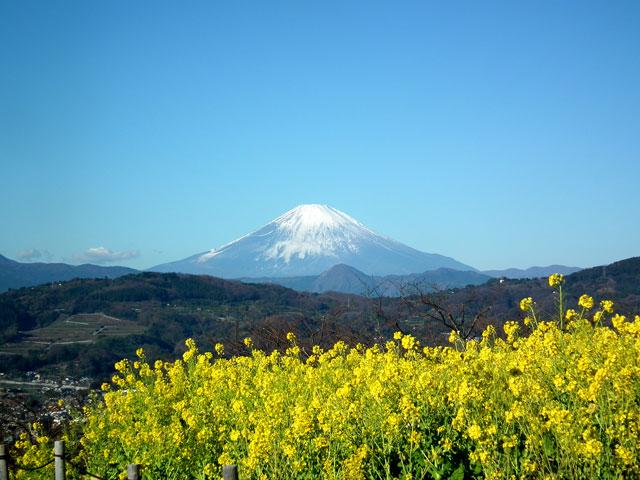 二宮町吾妻山公園の菜の花(2)