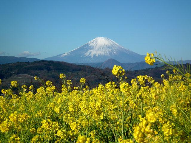 二宮町吾妻山公園の菜の花(3)