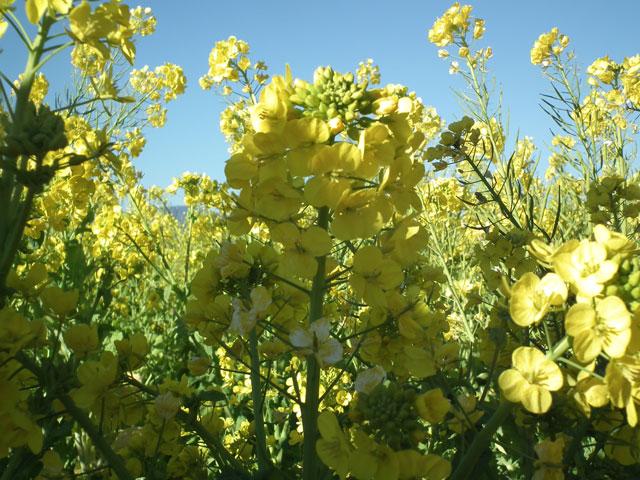二宮町吾妻山公園の菜の花(4)
