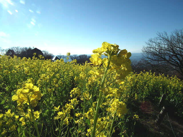 二宮町吾妻山公園の菜の花(5)