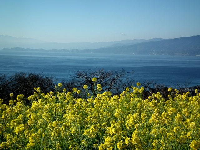 二宮町吾妻山公園の菜の花(6)