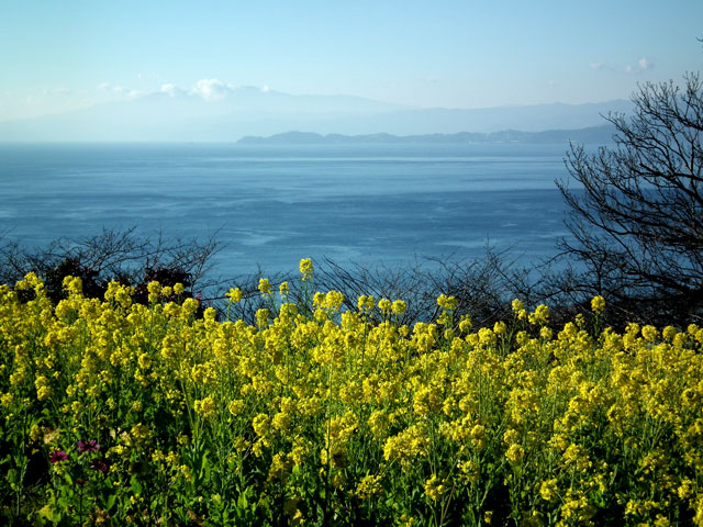 二宮町吾妻山公園の菜の花(7)