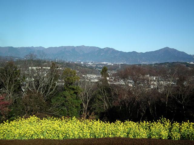 二宮町吾妻山公園の菜の花(8)