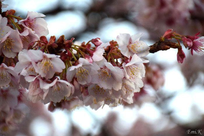 071-New-Emi-寒桜-BLOG