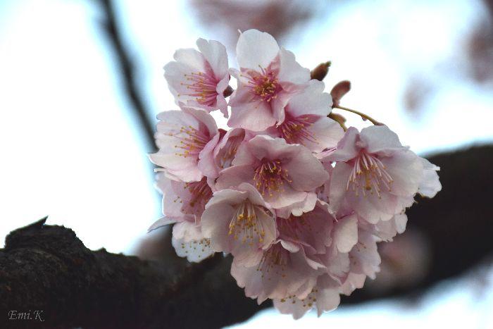 074-New-Emi-寒桜-BLOG