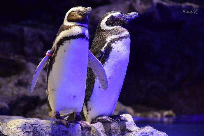 067-Emi-ペンギン