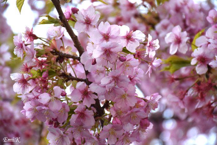 020-河津桜