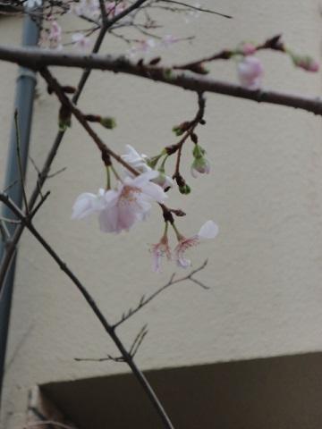 寒桜??②