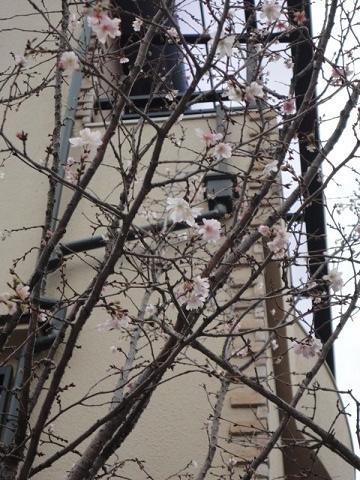 寒桜??①