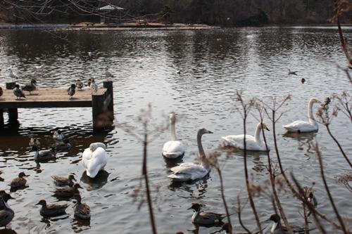 swan-20160228-01.jpg