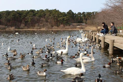 swan-20160228-03.jpg