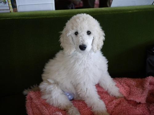 プードルさん子犬