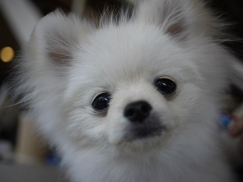 ポメ子犬さん